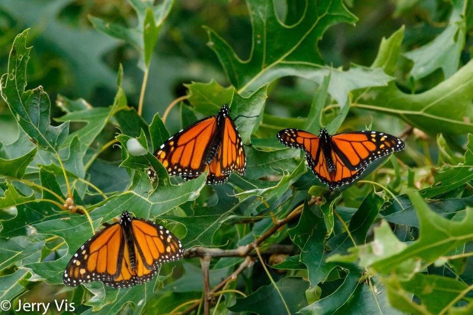 Three monarch butterflies resting