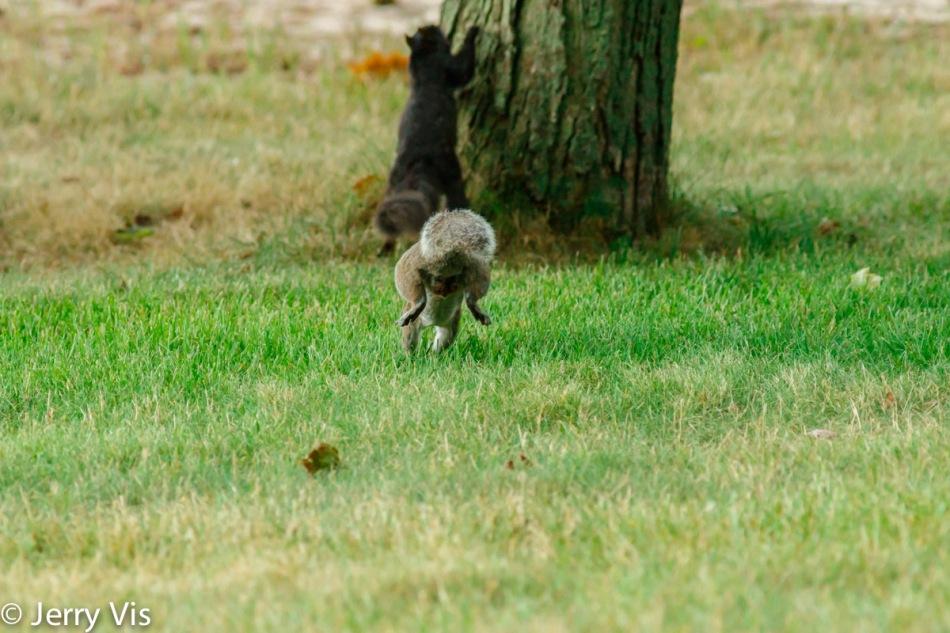 Grey morph grey squirrel chasing a black morph grey squirrel