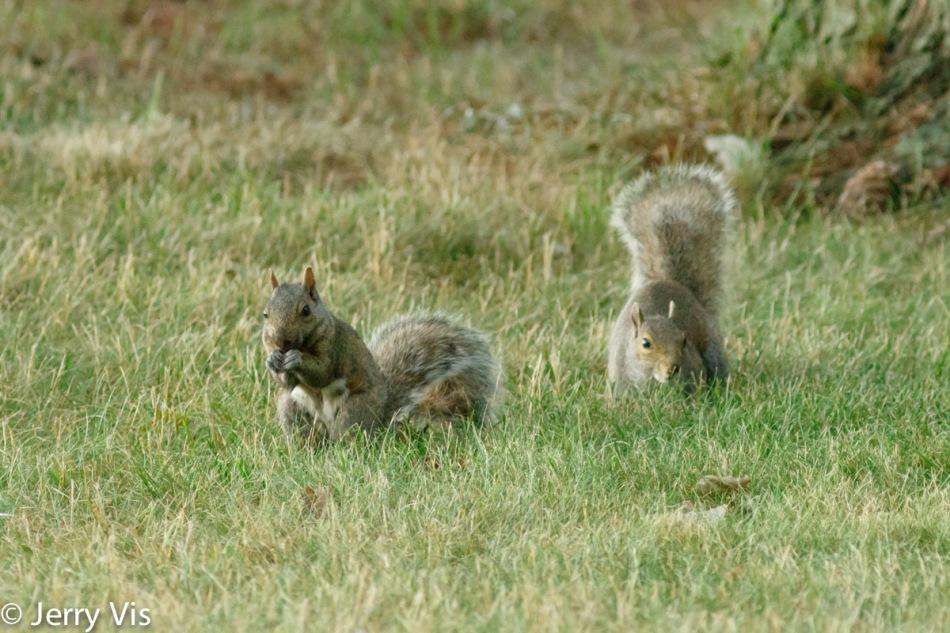 Grey morph grey squirrel