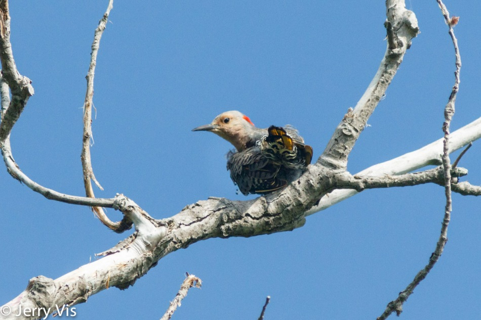 Northern flicker using polarizing filter