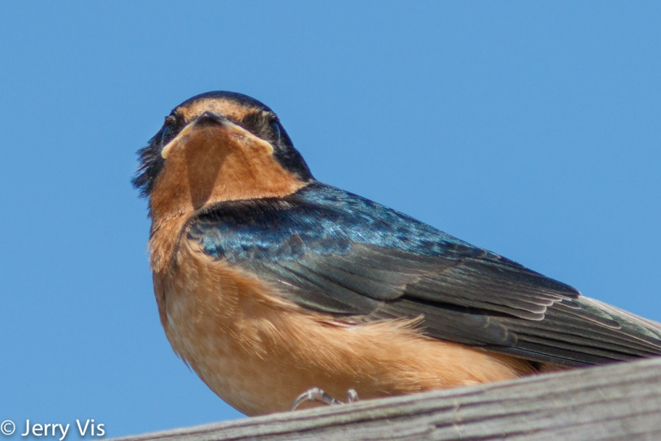 Juvenile barn swallow, slight crop
