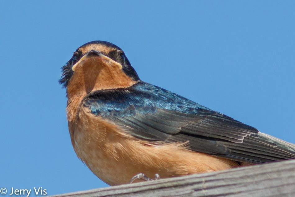 Juvenile barn swallow, slight crop