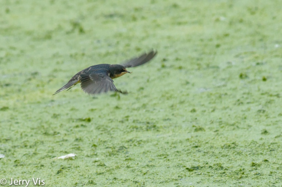 Barn swallow with lunch, in flight