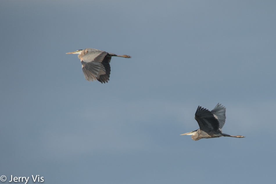 Two great blue herons in flight