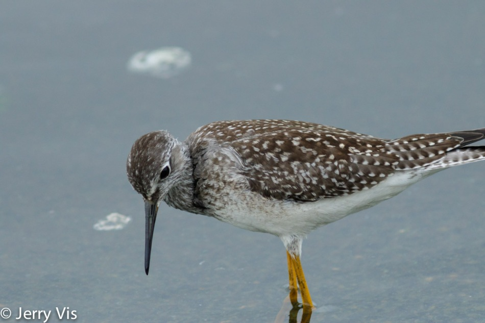 Lesser yellowlegs, not cropped
