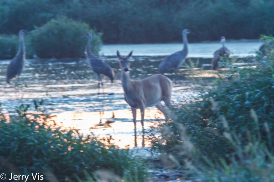 Whitetail deer and sandhill cranes