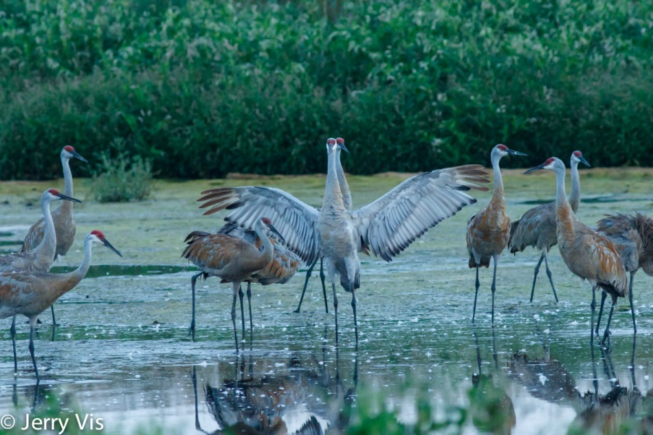 Sandhill cranes stretching their wings