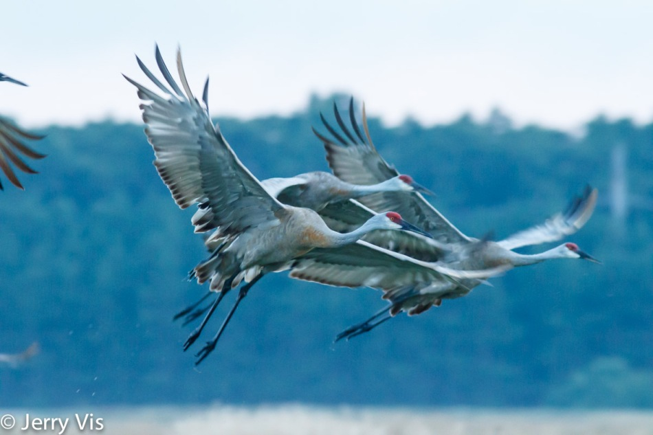 Sandhill cranes in flight