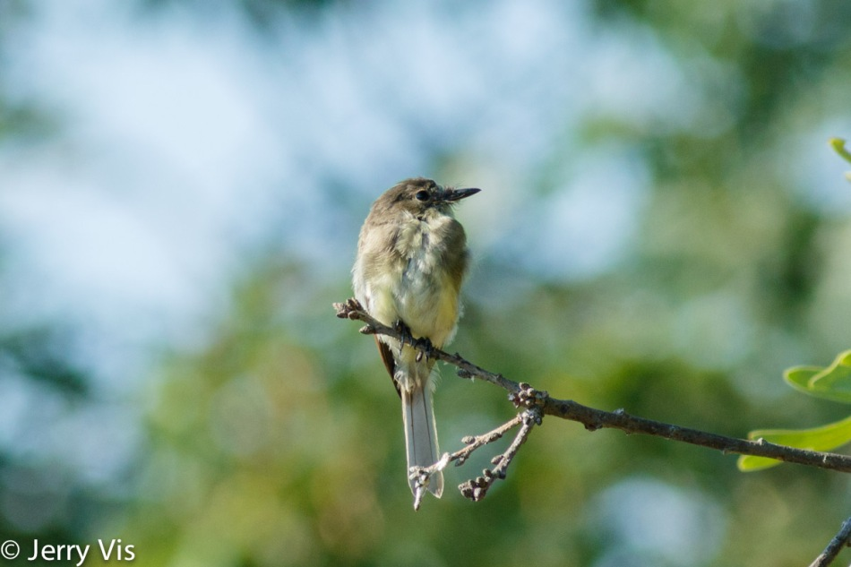 Eastern phoebe, 420 mm and cropped