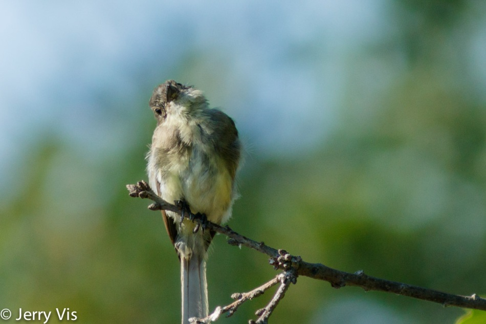 Eastern phoebe, 600 mm and cropped the same as before