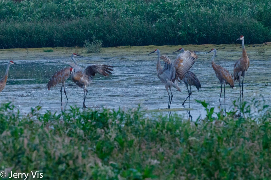 Sandhill cranes in action
