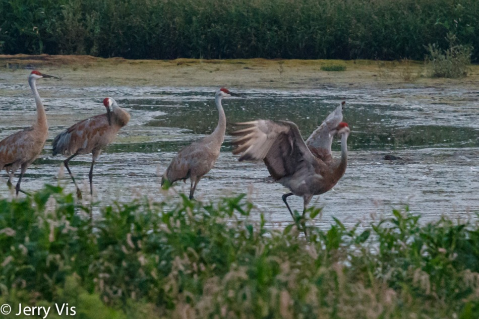 Sandhill crane dancing