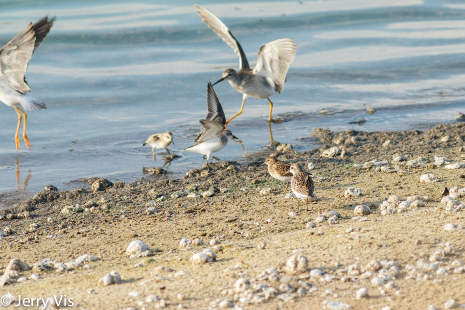 Lesser yellowlegs, least sandpipers, and semi-palmated sandpipers in action