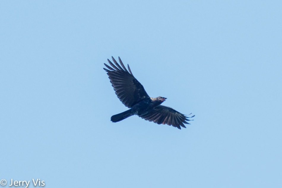 American crow in flight