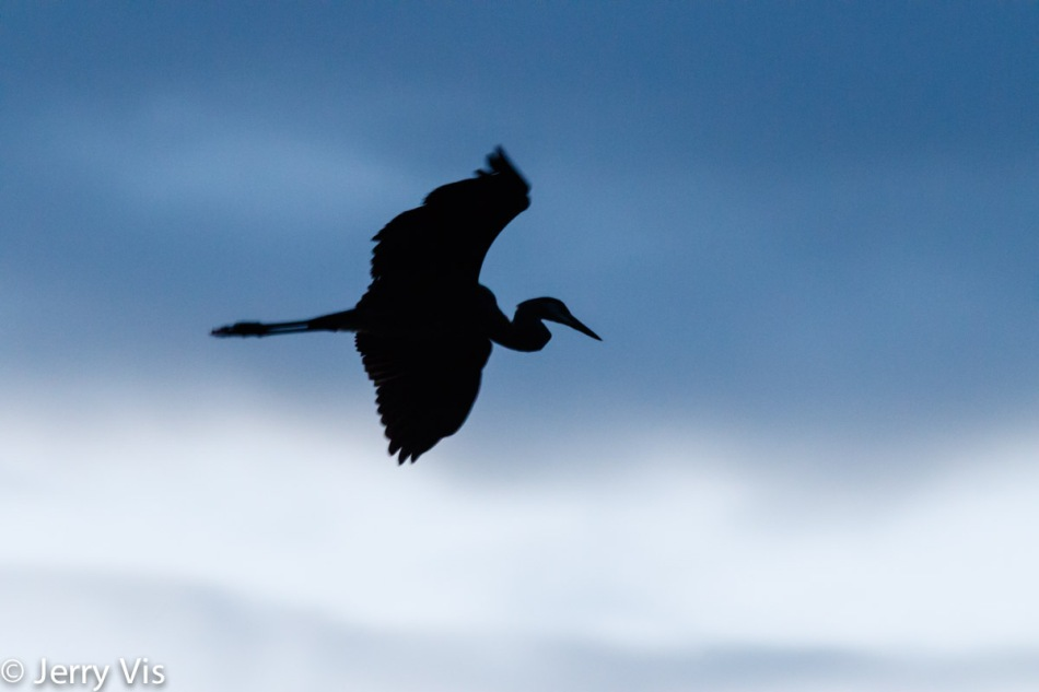 Great blue heron in flight before dawn