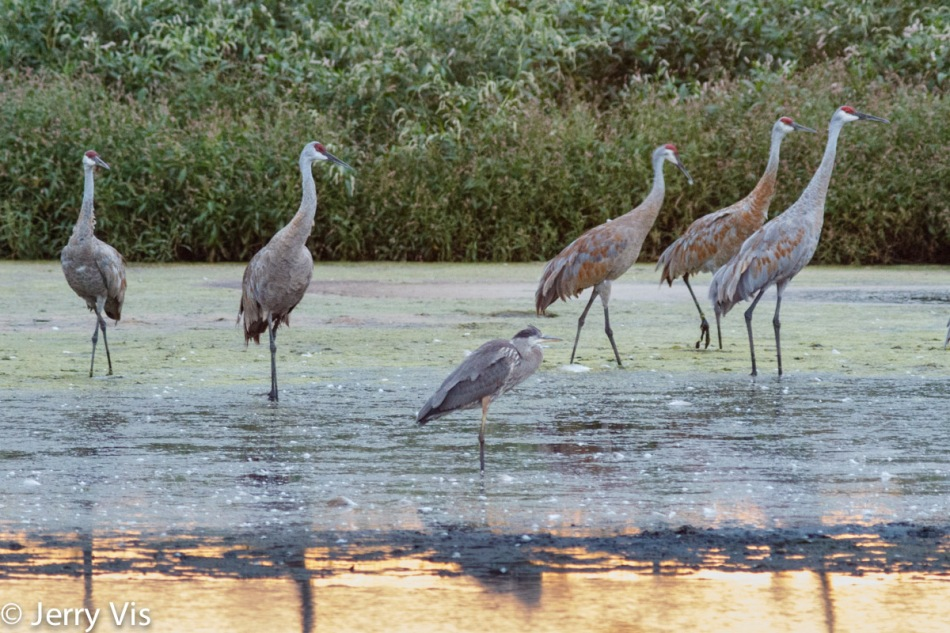 Great blue heron and sandhill cranes