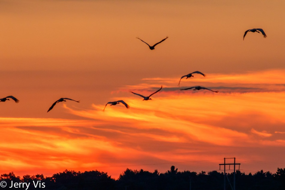 Sandhill cranes in flight at dawn