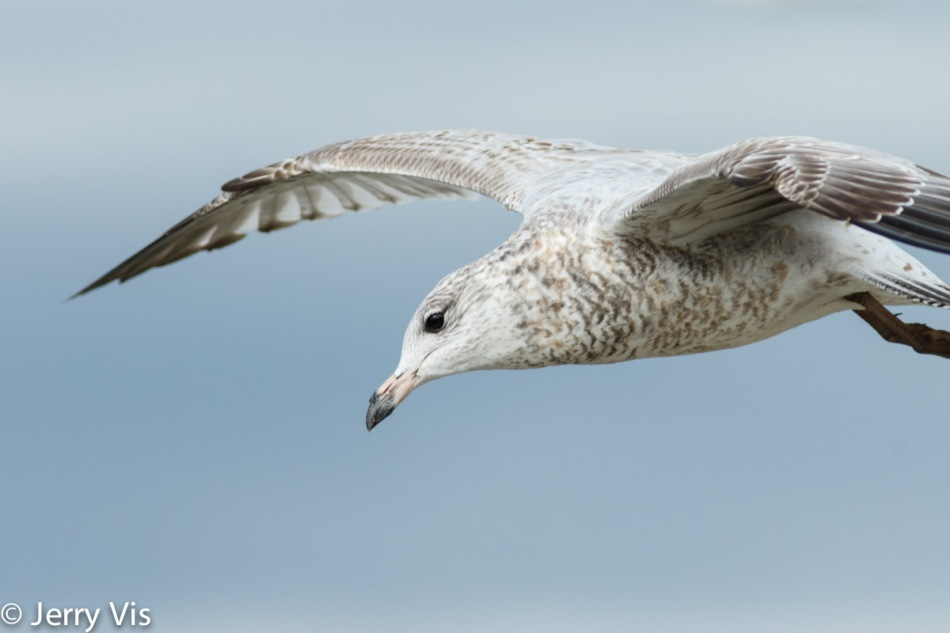 Juvenile ring-billed gull in flight