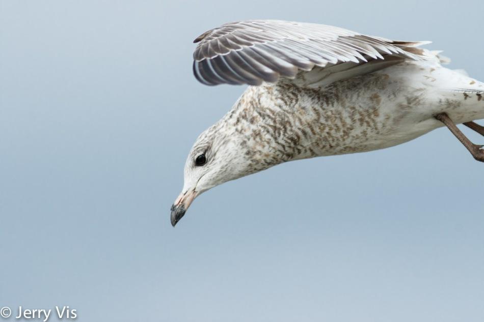 Juvenile ring-billed gull in flight