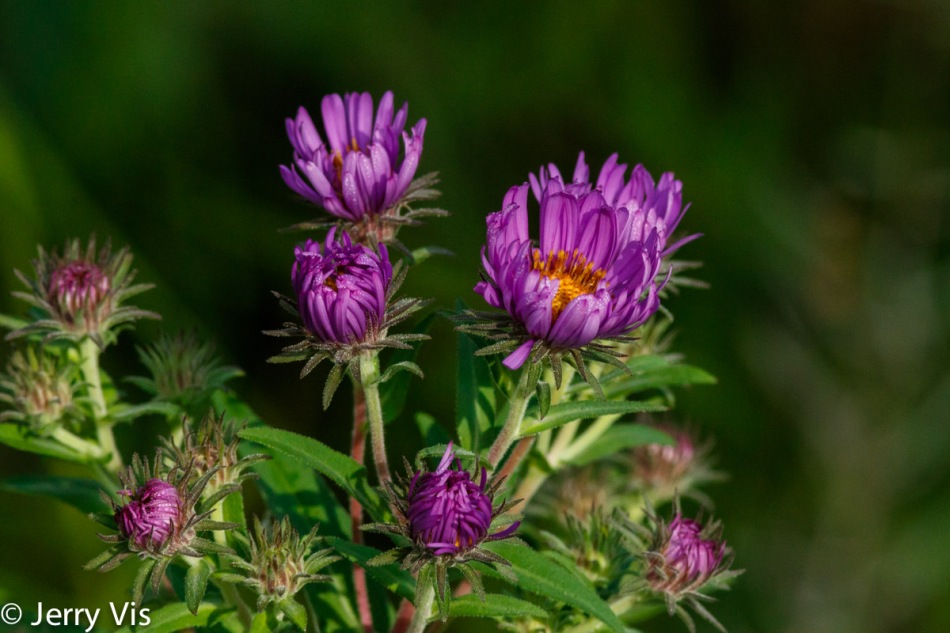 Asters opening
