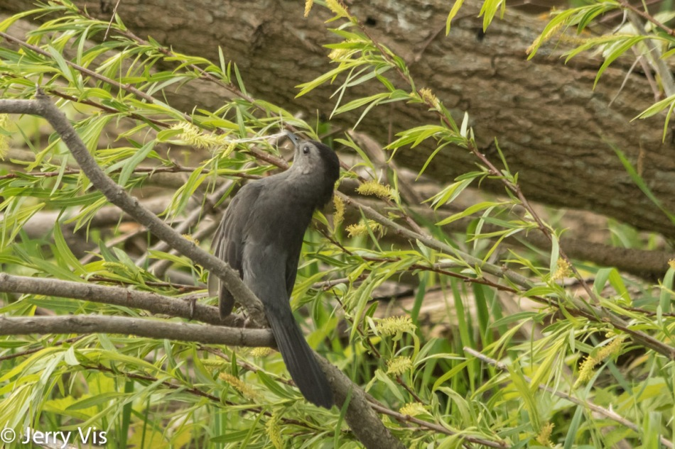Grey catbird collecting stuff to use in its nest
