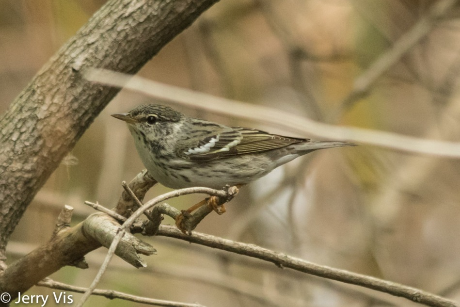 Female yellow-dumped warbler
