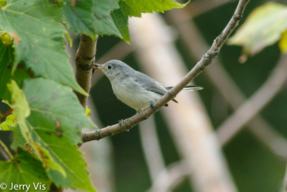 Blue-grey gnatcatcher with something larger than a gnat