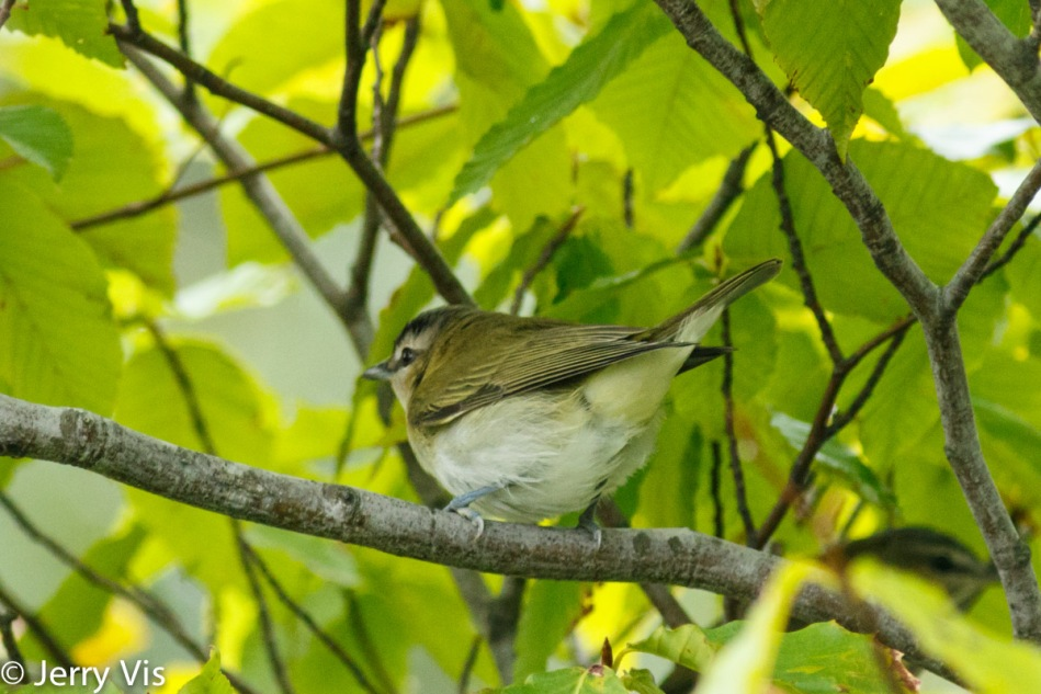 Red-eyed vireo letting me know what it thought of me photographing it