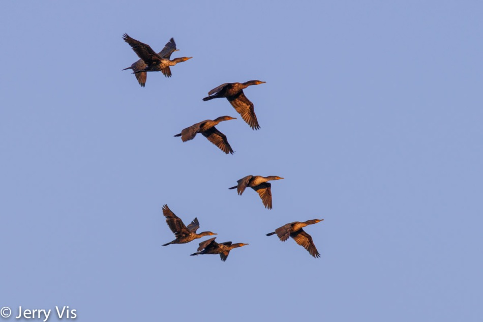 Double crested cormorants in flight