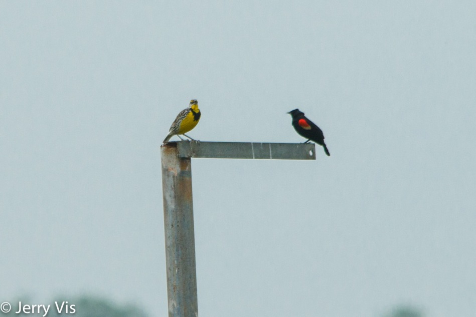 Eastern meadowlark and red-winged blackbird