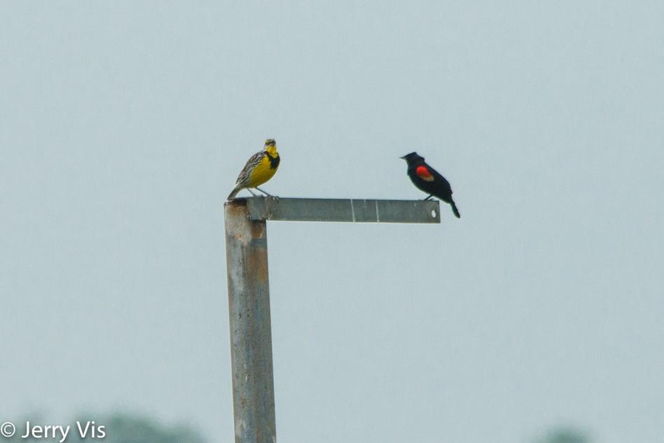 Eastern meadowlark and red-winged blackbird