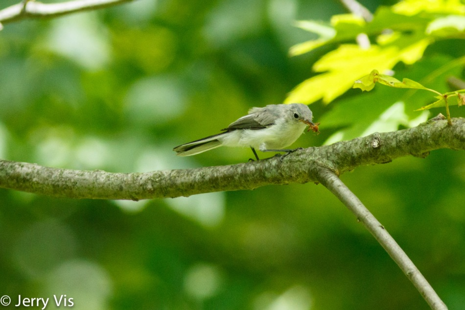 Blue-grey gnatcatcher finding a snack