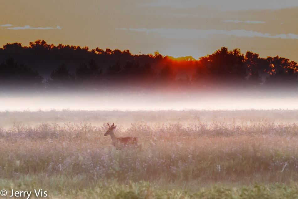 Whitetail buck at sunrise