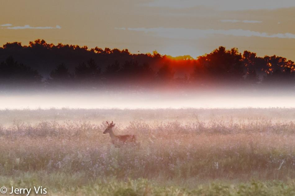 Whitetail buck at sunrise