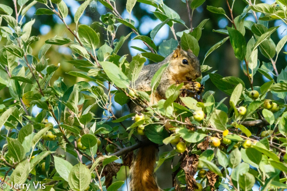 Fox squirrel eating crab apples
