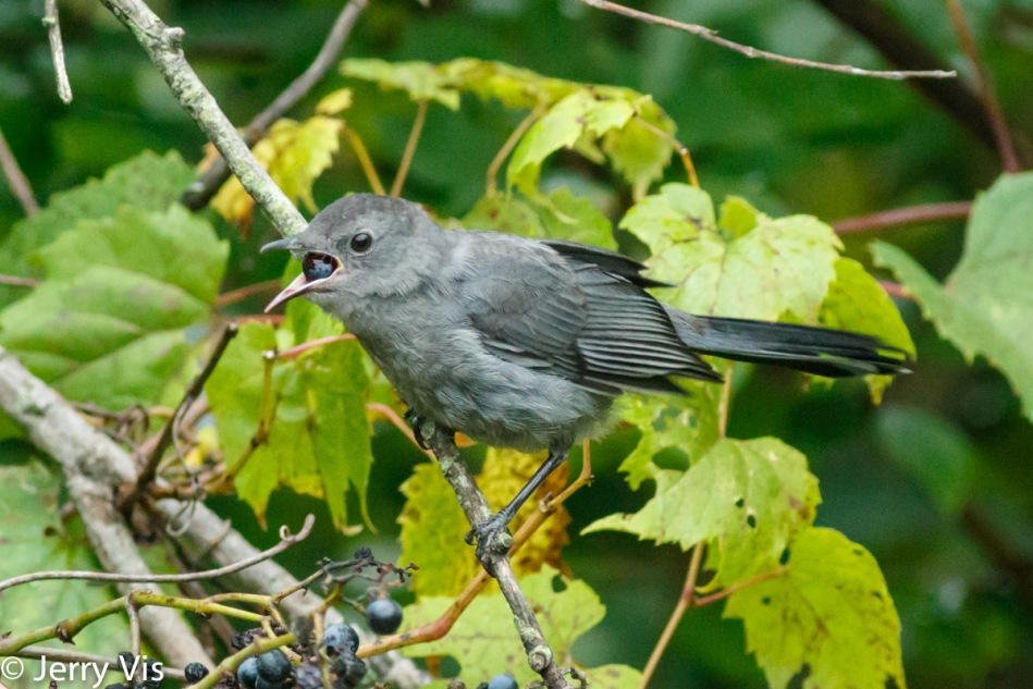 Grey catbird swallowing a grape