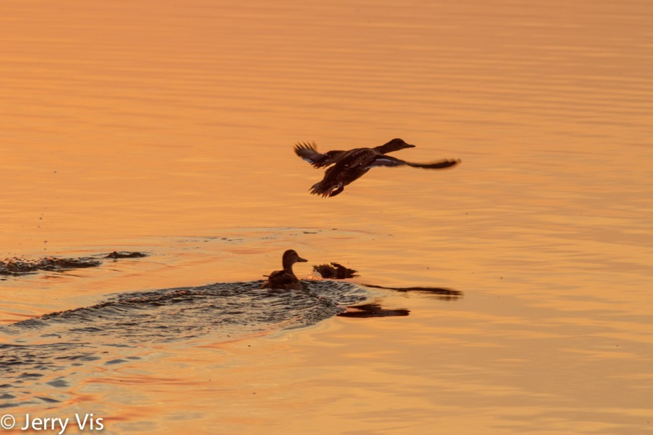 Dawn duck 1