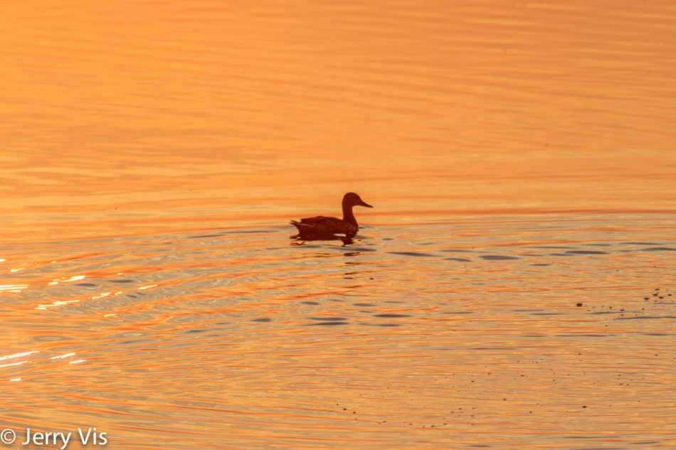 Dawn duck 2