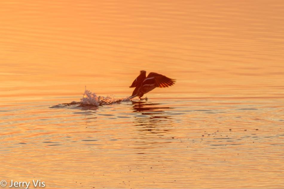 Dawn duck