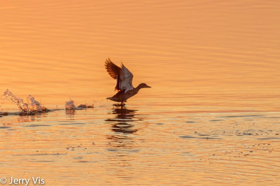 Dawn duck 3