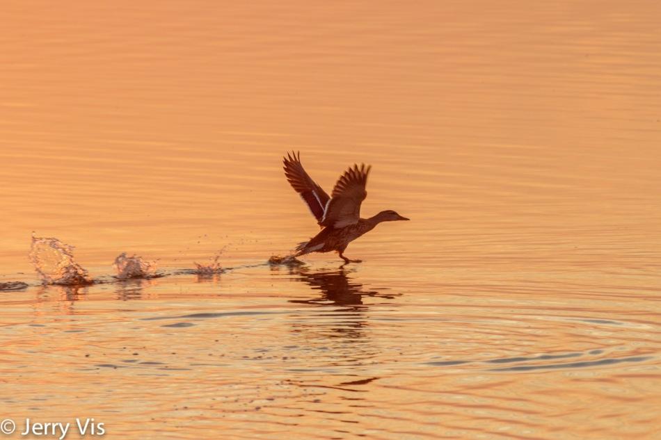 Dawn duck 4