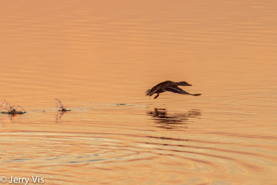 Dawn duck 5