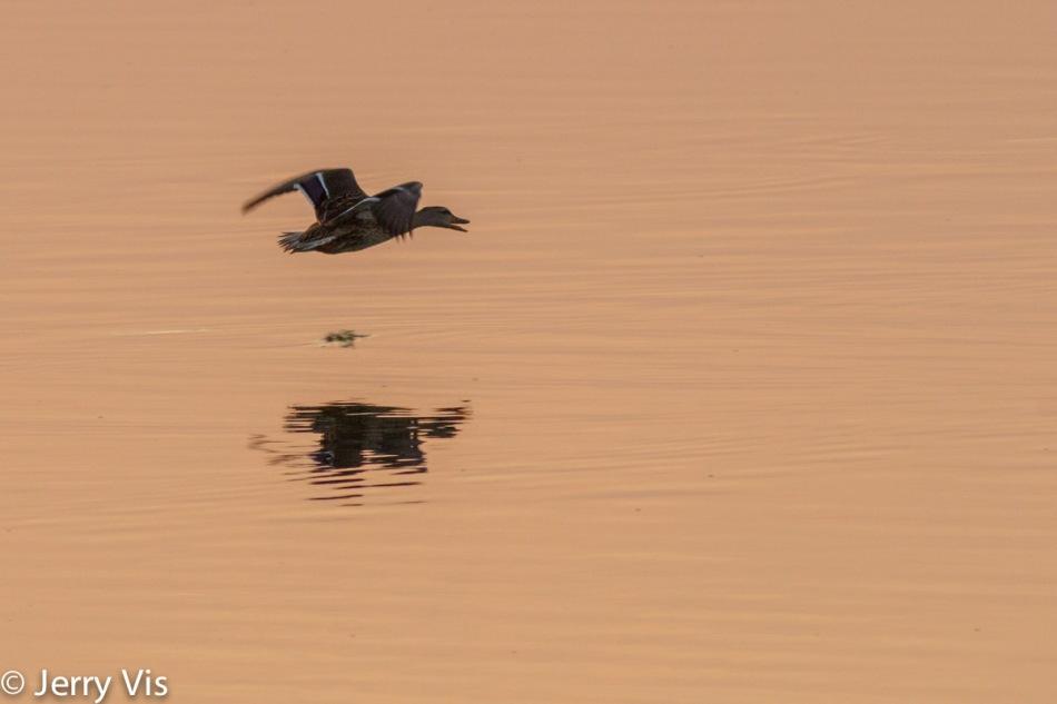 Dawn duck 6