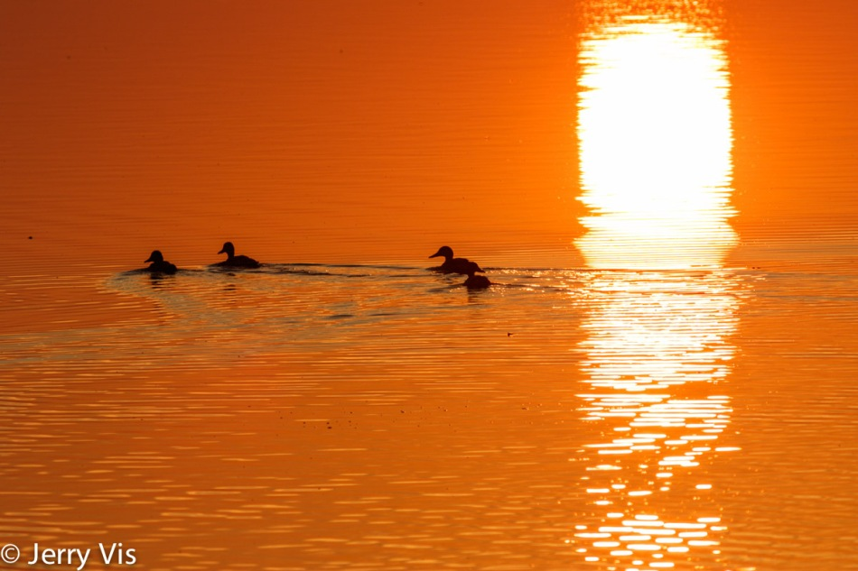 Dawn duck 7