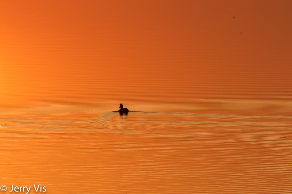 Lone duck at dawn