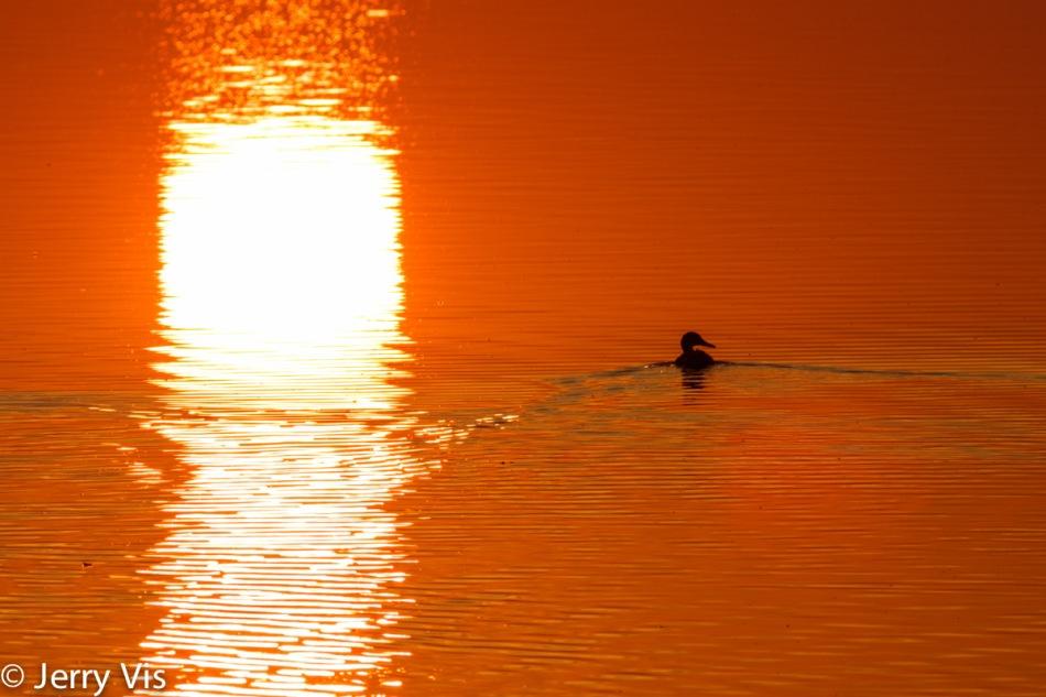 Dawn duck 8