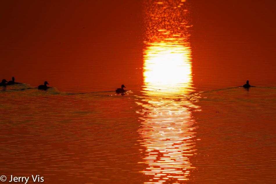 Dawn duck 9