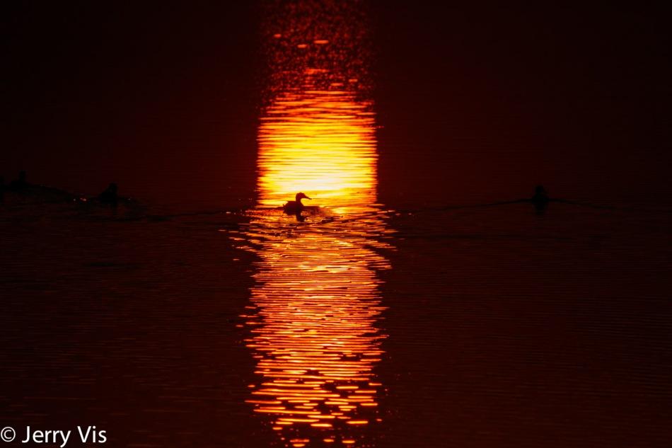 Dawn duck 10