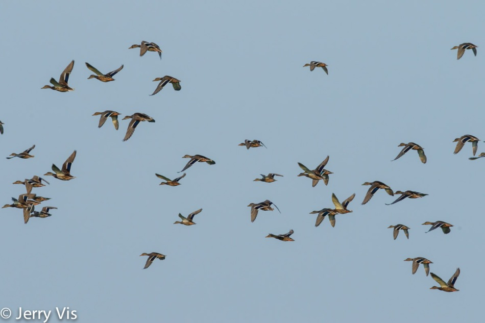 Multiple mallards in flight