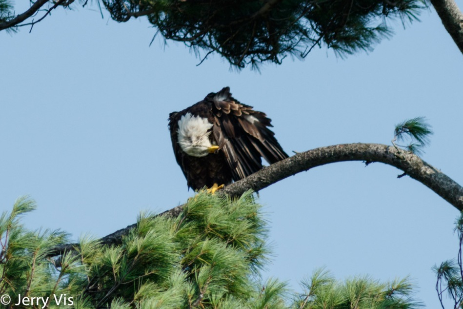 Bald eagle having a bad feather day